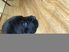 Labrador Retriever Puppy For Sale in GOODVIEW, VA