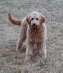 Adorable Dark Red Goldendoodle Puppy available