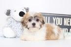 Danny Male Malshi Puppy