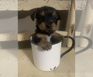 Yorkshire Terrier Puppy for Sale in JOHNSTON CITY, Illinois USA
