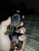 Lovely baby male yorkies