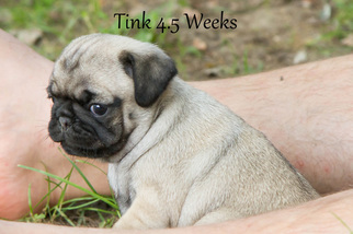 Pug Puppy For Sale in HANNA CITY, IL, USA
