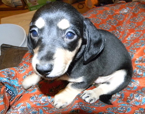 Dachshund Puppy For Sale in LAKEBAY, WA