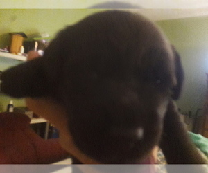 Labrador Retriever Puppy for sale in HOLT, MI, USA