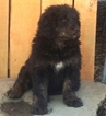 Bernedoodle Puppy For Sale near 18837, Rome, PA, USA
