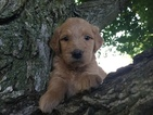 Goldendoodle Puppy For Sale in WALTON, IN, USA