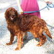 Irish Setter Puppy For Sale in GAP, PA, USA