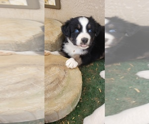 Australian Shepherd Puppy for sale in BAILEYTON, AL, USA