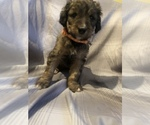 Puppy 5 Bernedoodle