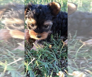 Yorkshire Terrier Puppy for Sale in BETHLEHEM, Georgia USA