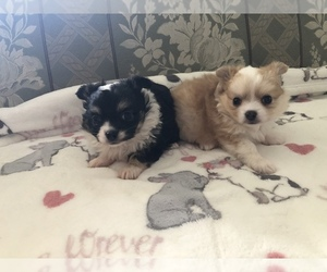Chihuahua Puppy for sale in SEABECK, WA, USA