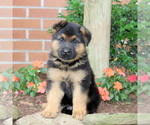 Small German Shepherd Dog