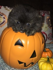 Pomeranian Puppy For Sale in KINTNERSVILLE, PA, USA