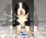 Small Photo #6 Australian Shepherd Puppy For Sale in HAMPTON, VA, USA