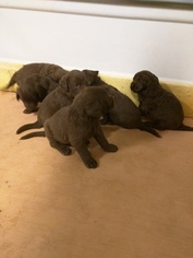 Labradoodle Puppy For Sale in MATTHEWS, GA