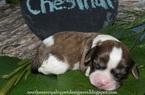 Cavaton Puppy For Sale in LEBANON, TN