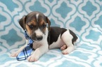 Jack Russell Terrier Puppy For Sale in HONEY BROOK, Pennsylvania,