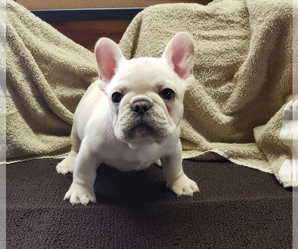 Medium Photo #1 French Bulldog Puppy For Sale in WEST PLAINS, MO, USA