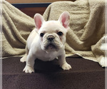 Small Photo #1 French Bulldog Puppy For Sale in WEST PLAINS, MO, USA