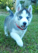 Siberian Husky Puppy For Sale in BROOKSVILLE, FL