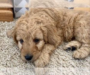Medium Goldendoodle-Poodle (Miniature) Mix