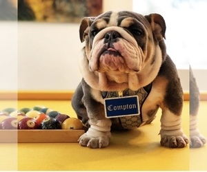 Father of the English Bulldog puppies born on 06/28/2020
