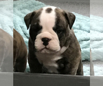 Small Photo #4 Bulldog Puppy For Sale in OAK RIDGE N, TX, USA