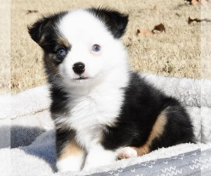 Miniature Australian Shepherd Dog for Adoption in CHICKASHA, Oklahoma USA