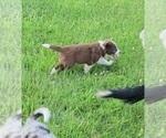 Puppy 9 Border Collie