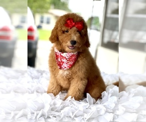 Goldendoodle (Miniature) Dog for Adoption in FROSTPROOF, Florida USA