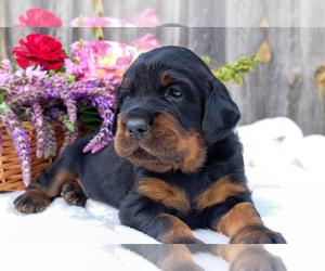 Gordon Setter Puppy for sale in Trnava, Trnavsky, Slovakia