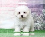 Riley Cuddly Little Male Maltese Puppy