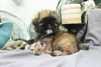 Shih Tzu Puppy For Sale in LEBANON, NJ