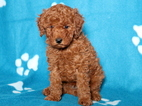 Poodle (Toy) Puppy For Sale in MOUNT JOY, PA,