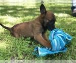 AKC Belgian  Malinois Pup