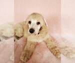Small #20 Poodle (Standard)