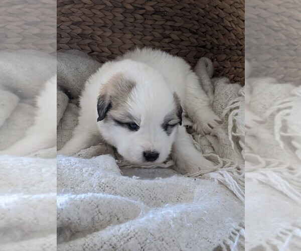 Medium Photo #51 Great Pyrenees Puppy For Sale in FALCON, CO, USA