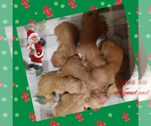 Poodle (Standard) Puppy for sale in BRADFORDSVILLE, KY, USA