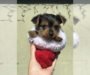 Yorkshire Terrier Puppy for sale in MIDDLEBURG, FL, USA