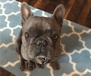 Father of the French Bulldog puppies born on 12/03/2020