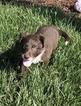 Border Collie Puppy For Sale in MARTELL, Nebraska,