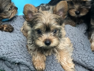 Yorkshire Terrier Puppy For Sale in CARLSBAD, CA, USA