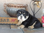 English Bulldog Puppy For Sale near 92307, Apple Valley, CA, USA