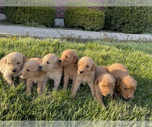 Golden Retriever Puppy for Sale in SILEX, Missouri USA