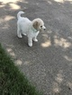 Goldendoodle Puppy For Sale in SOUTHLAKE, TX, USA
