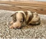 Small #7 Australian Shepherd