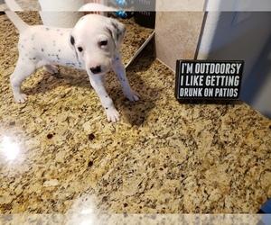 Dalmatian Puppy for sale in ARLINGTON, TX, USA