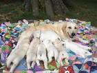 Golden Retriever Puppy For Sale in FAYETTEVILLE, AR, USA