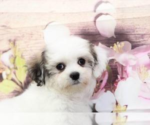 Cavachon-Lhasa Apso Mix Puppy for sale in MARIETTA, GA, USA