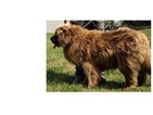 Newfoundland Puppy For Sale in BETHEL, MO